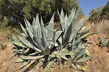 Agave plant in California. Copyrighted by Marc Ryckaert and used under Creative Commons license. Resized.