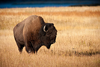 An American Buffalo standing in a field
