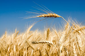 a wheat field, focus on one head of wheat