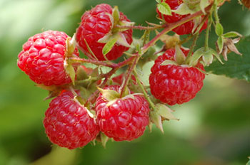 ripe red raspberries on the vine
