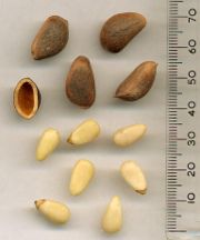 Korean Pine Seeds